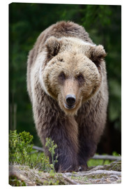 Canvas print  Brown bear in focus