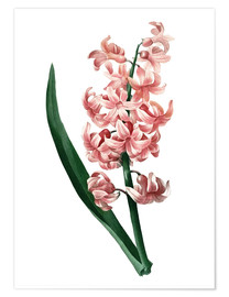 Premium poster Orient Red Hyacinth