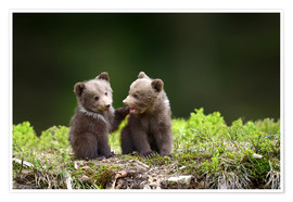 Premium poster  Two young brown bears