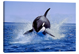 Canvas print  Jump of the orca - Gérard Lacz