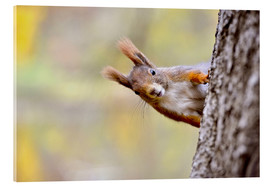 Acrylic print  Red Squirrel in an urban park in autumne