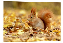 Acrylic print  Red Squirrel in an urban park in autumn