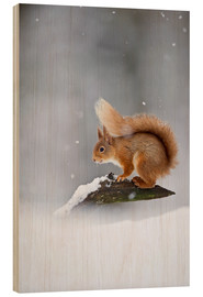 Wood print  Eurasian Red Squirrel standing on branch in snow - FLPA