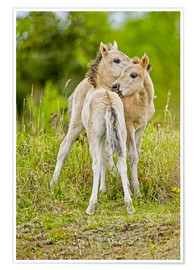 Premium poster Konik, wild horse, two foals playing