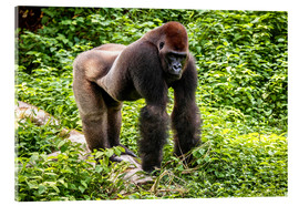 Acrylic print  Western lowland gorilla, male in enclosure