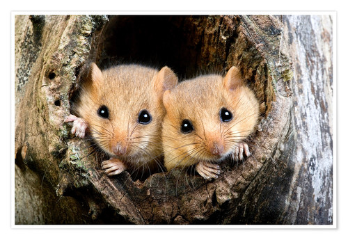 Premium poster Two dormouse