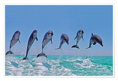 Premium poster 6 dolphins jump out of the water