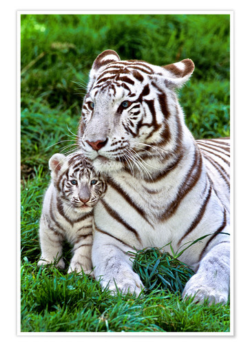 Premium poster White tiger mother with child