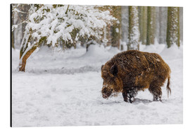 Aluminium print  Boar in the snow - Moqui, Daniela Beyer