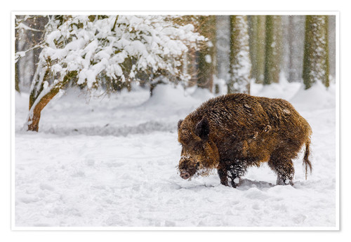 Premium poster Boar in the snow