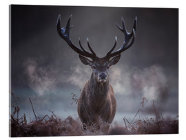 Acrylic print  A majestic red deer stag breathing - Alex Saberi