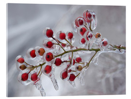 Acrylic print  Rosehip Covered with Ice