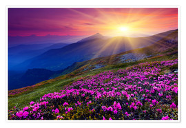 Premium poster Rhododendron in the Carpathians
