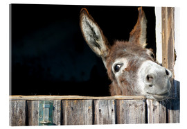 Acrylic print  Cute & curious little donkey