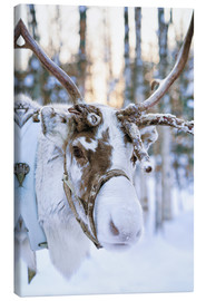 Canvas print  Reindeer in Lapland