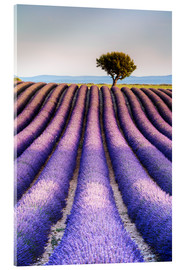 Acrylic print  Tree in a lavender field, Provence - Matteo Colombo