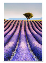 Premium poster Tree in a lavender field, Provence