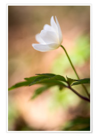 Premium poster Wood anemone - blooming with soft background