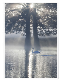 Premium poster  Swan on misty lake - Alex Saberi