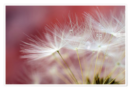 Premium poster Dandelions magic