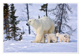 Premium poster  Polar bear with three cubs in the tundra