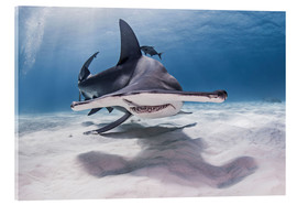 Acrylic print  Big hammerhead on the seabed - Cultura/Seb Oliver