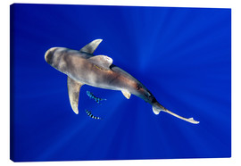 Canvas print  Oceanic Whitetip Shark with pilot fish - Cultura/Seb Oliver