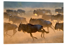 Acrylic print  Wildebeests during the great migration, Serengeti - age fotostock