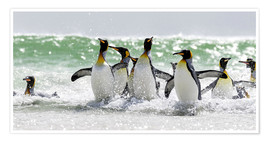 Premium poster  King penguin bathing - Cubo Images