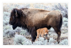 Premium poster  Bison cow with calf