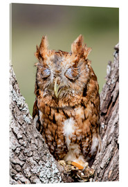 Acrylic print  Screech-Owl eating grasshopper
