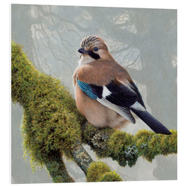 Foam board print  Eurasian Jay sits on a mossy branch - Ikon Images