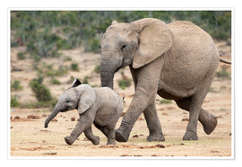 Premium poster  African elephant and calf
