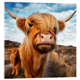Acrylic print  Highland cattle with calf - Westend61