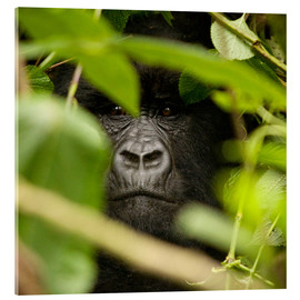 Acrylic print  A silverback gorilla in the undergrowth - John Warburton-Lee