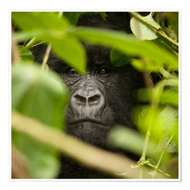 Premium poster  A silverback gorilla in the undergrowth - John Warburton-Lee