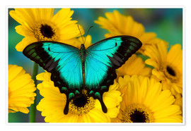 Premium poster  Sea Green Swallowtail Butterfly - Darrell Gulin