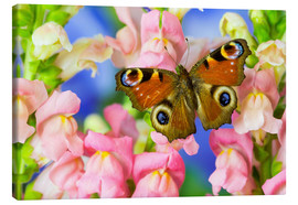 Canvas print  The European peacock butterfly - Darrell Gulin