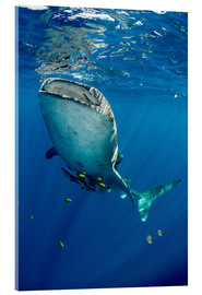 Acrylic print  Whale shark under water - Pete Oxford