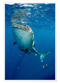 Premium poster  Whale shark under water - Pete Oxford