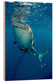 Wood print  Whale shark under water - Pete Oxford
