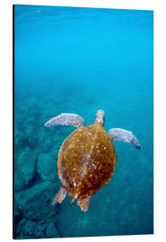 Aluminium print  Floating galapago turtle - Pete Oxford