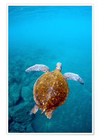 Premium poster  Floating galapago turtle - Pete Oxford
