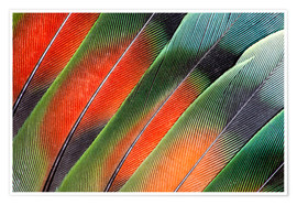 Premium poster Fanned Agapornids feathers