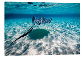 Acrylic print  Southern stingrays on the sandbar in Grand Cayman, Cayman Islands. - Jennifor Idol