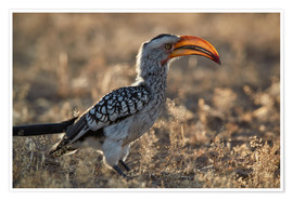 Premium poster  Southern yellow-billed hornbill - James Hager