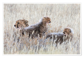 Premium poster  Cheetah with cubs
