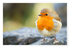 Premium poster  Robin, garden bird, Scotland, United Kingdom, Europe - Karen Deakin