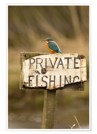 Premium poster  Kingfisher rests on a fishing sign - John Potter