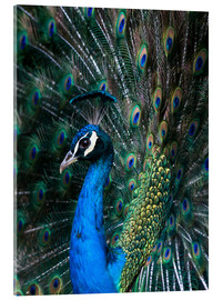 Acrylic print  Indian Peacock - Andrew Michael